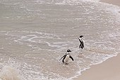 Manchots du Cap dans l'écume - Boulders Beach Afrique du Sud