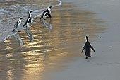 Manchots du Cap sur la plage - Boulders Beach Afrique du Sud