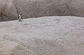 Manchot du Cap sur rocher - Boulders Beach Afrique du Sud