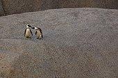 Manchots du Cap sur rocher - Boulders Beach Afrique du Sud