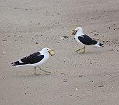 Goélands dominicains et oeuf - Boulders Beach Afrique du Sud