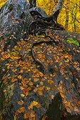 Undergrowth in autumn - Valley Ordesa Pyrenees Spain