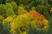 Forest in autumn - Ordesa and Monte Perdido Pyrenees Spain