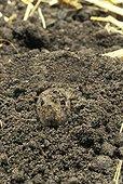 Common vole - France ; Campagnol des champs sortant la tête de la terre