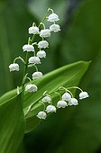 Lily-of-the-valley - France ; Brin de Muguet