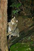 Wildcat - France ; Chat sauvage d'Europe adulte grimpant à un tronc d'arbre