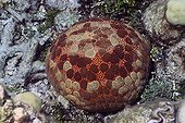 Cushion Sea Star on reef - Solomon Islands