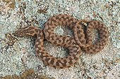 Young Viperine Water Snake - Plaine des Maures France
