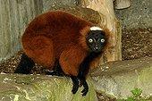 Red ruffed lemur on ground - Zoo Mulhouse France
