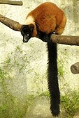 Red ruffed lemur on a branch - Zoo Mulhouse France