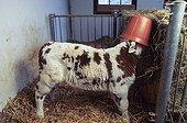 Normande calf sukling in a bucklet