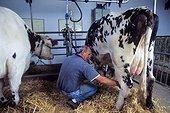 Milking Normande cows in a farm