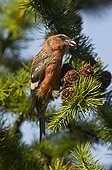 Two-barred Crossbill eating cones - Denmark