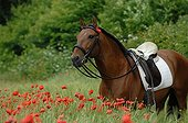 Iberian bay horse in field of poppies - France  ; flange and braid Iberian