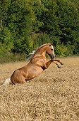 Palomino horse rearing in mature wheat - France