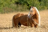 Palomino horse in mature wheat - France