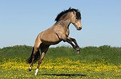 New Forest stallion rearing in the meadow in spring - France