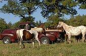 Appaloosa horses and Cabriolet - France ; breeding Sagiran