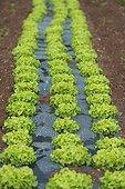 Batavia lettuce in organic farming in plastic film - France  ; plastic film to prevent the development of weeds