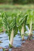 Chard organic cultivation of plastic film - France ; plastic film to prevent the development of weeds