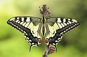 Newly hatched swallowtail butterfly - Spain