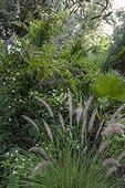 Fountaingrass and golden dewdrop 'Geisha Girl' in a garden