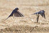 Barn Swallows collecting mud - France
