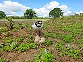 Little-ringed plover on nest - Midlands UK