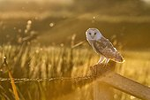 Barn Owl perched on a fence post in autumn - GB