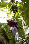 Banana in fruit in a garden in Morocco ; Landscapers: Ossart and Maurières<br><br>