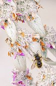 Wasp gathering nectar from a sage flower in a garden