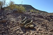 Horned Viper in the desert - Ouarzazate Morocco