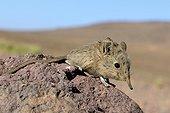 North african elephant shrew sur rocher - Ouarzazate Morocco