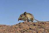 Noth african elephant shrew sur rocher - Ouarzazate Morocco