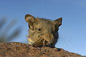 Noth african elephant shrew eating insect-Ouarzazate Morocco