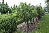 Pear trees at garden of Château de Carles - Gironde - France