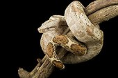 Boa constrictor on a branch on black background