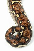 Boa constrictor tail on white background