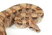 Portrait of Boa constrictor on white background