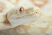 Portrait of Boa constrictor 'albino'
