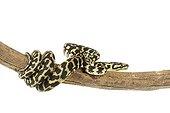 Jungle Carpet Python on a branch on white background