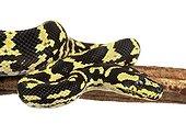 Jungle Carpet Python on branch on white background