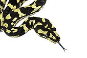 Portrait of Jungle Carpet Python on white background