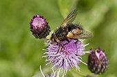 Tachinaire sur fleur - Danemark