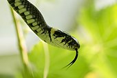 Portrait of Grass Snake in Greenhouse - Denmark