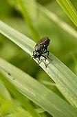 Violet black-legged robber fly female on a a leaf - Denmark