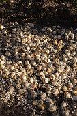 Plantation of little bulbs of Muscari in a garden