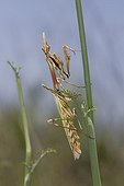 Empusa male on the lookout - Maquis des Maures France