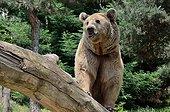 Male brown bear - Animal Park Argeles Pyrénées France