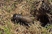 Field cricket before his burrow - France